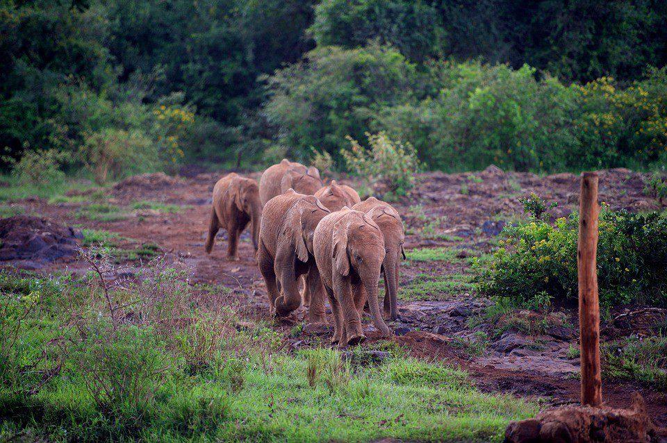 KENYA MIGRAZIONe elefanti