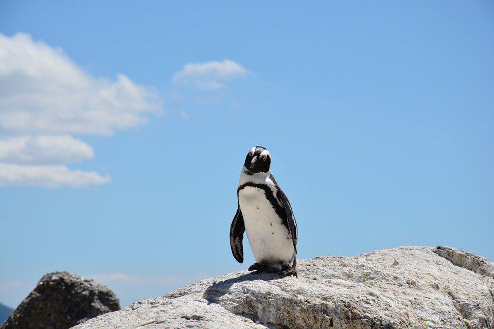 sudafrica boulders beach pinguino