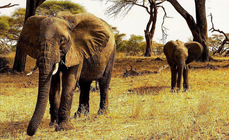 tanzania leoni