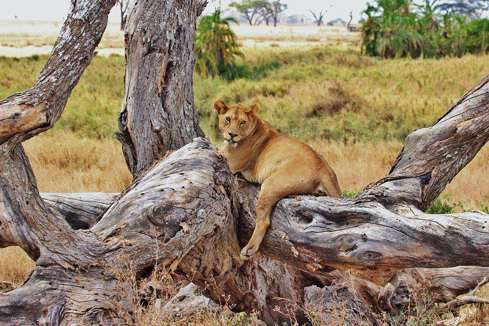 kenya leone masai mara