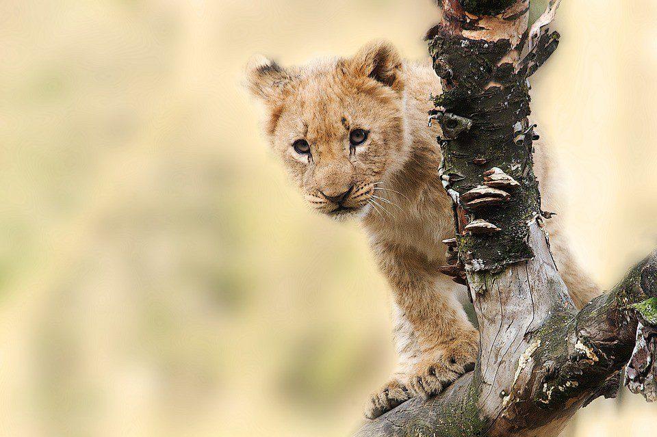 tanzania leone cucciolo