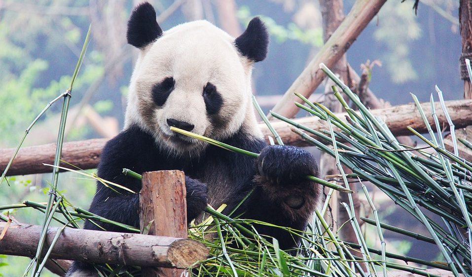 cina chengdu panda