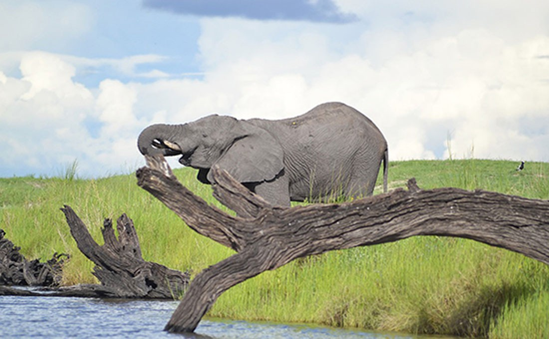 botswana elefante
