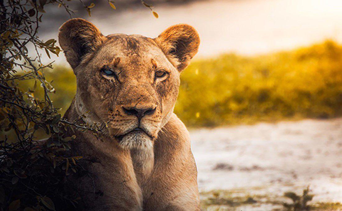 botswana leonessa  - BOTSWANA - Tour e Servizi su Misura