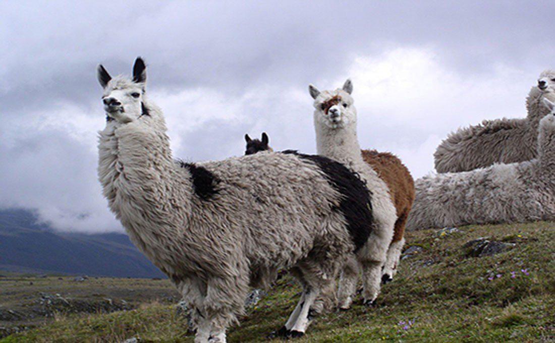 alpaca ecuador  - ECUADOR - Ecuador