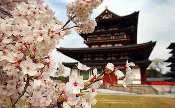 giappone tokyo sakura