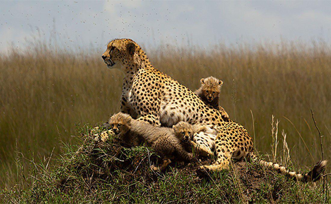 namibia ghepardo  - KENYA - Namibia