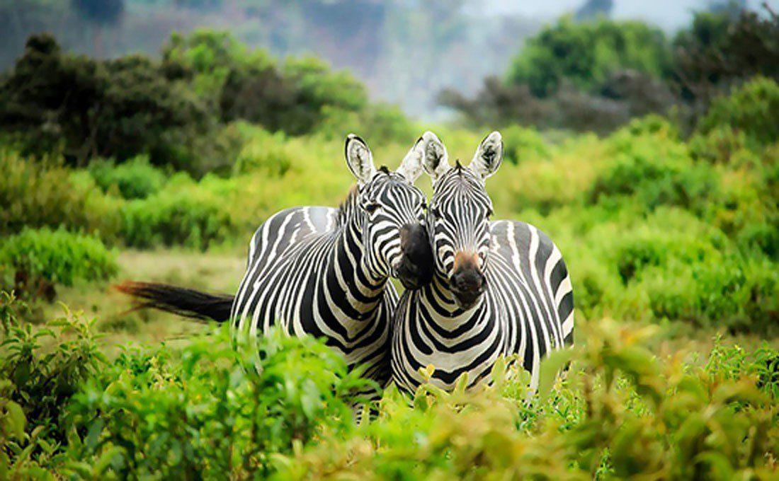 kenya riserva zebre  - KENYA1 - Africa