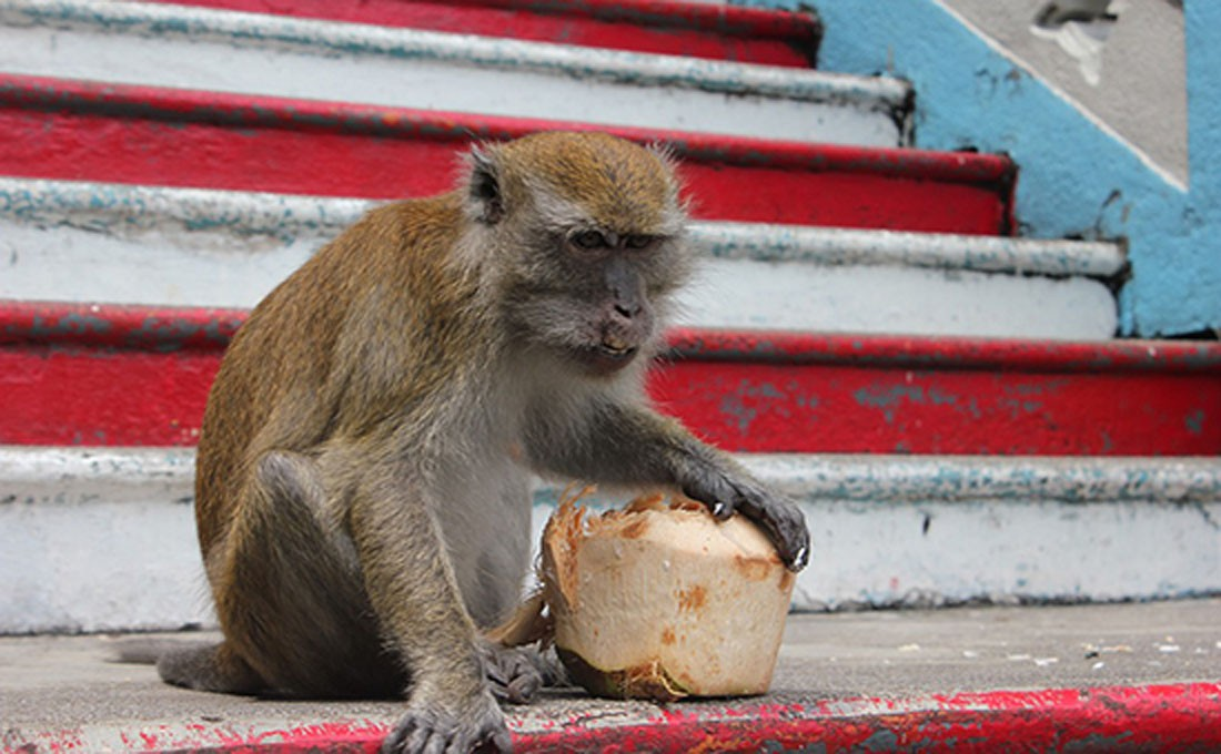 malesia borneo scimmia