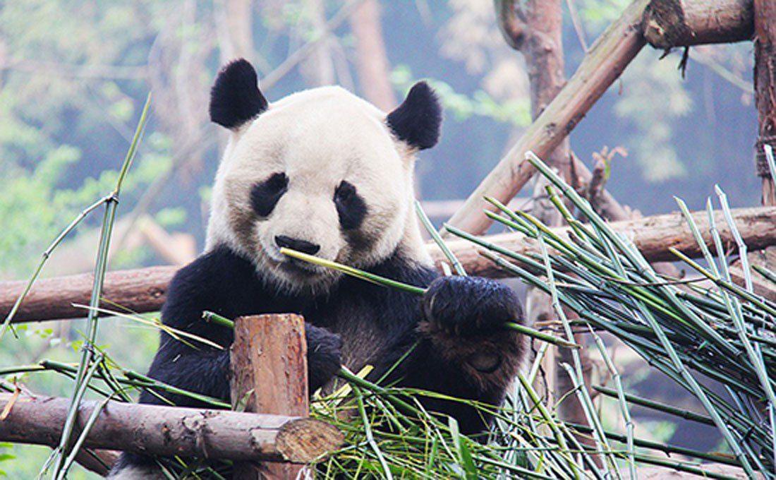 Dai panda giganti alla Thailandia