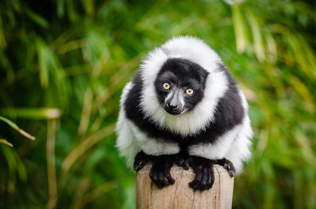madagascar lemure bianco e nero