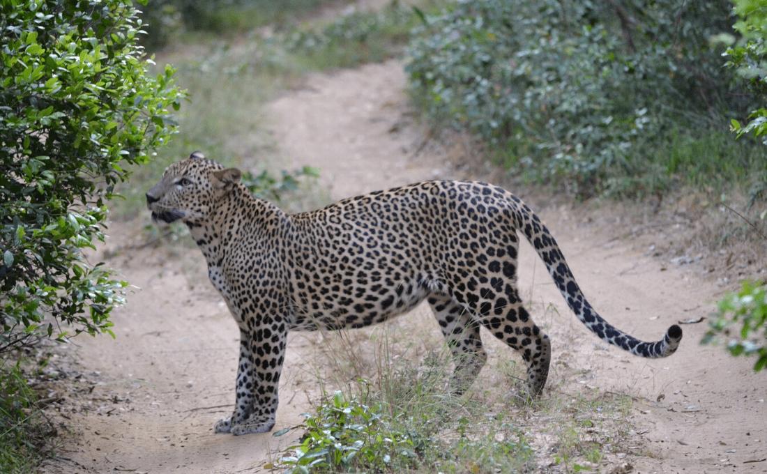 Sri Lanka - Alla ricerca del leopardo asiatico